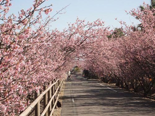 浜岡砂丘白砂公園での河津桜の並木道
